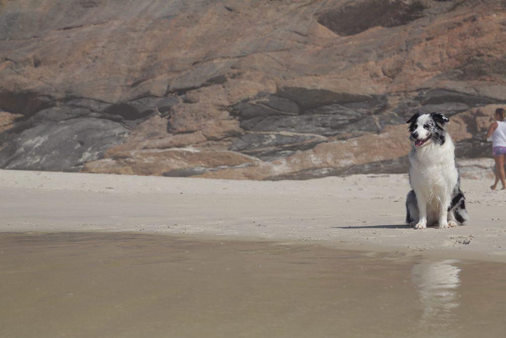 border colie praia
